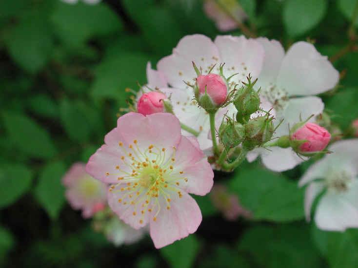 Hoa cà còn thơm (thơ dp) NuTamXuan